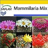 SAFLAX - Anzucht Set - Kakteen - Mammilaria Mischung - 40 Samen - Mit Mini-Gewächshaus, Anzuchtsubstrat und 2 Töpfen - Mammilaria Mix -