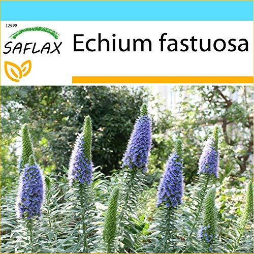 SAFLAX - Geschenk Set - Blauer - Natternkopf - 100 Samen - Mit Geschenk- / Versandbox, Versandaufkleber, Geschenkkarte und Anzuchtsubstrat - Echium fastuosa