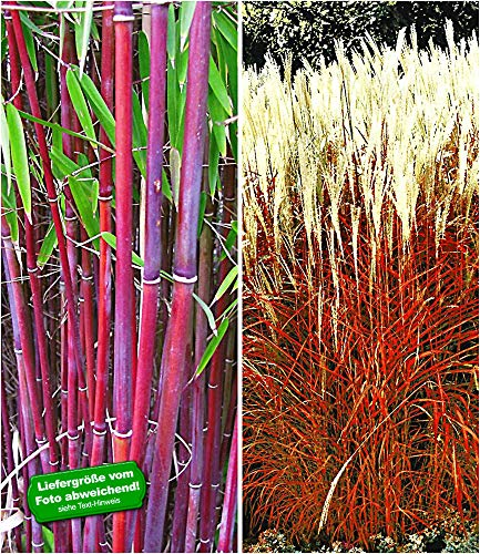 BALDUR Garten Gräser-Kollektion winterhart, 2 Pflanzen besteht aus 1 Pflanze rote Bambus Chinese Wonder Fargesia jiuzhaigou No.1 und 1 Pflanze Ziergras Indian Summer Chinaschilf