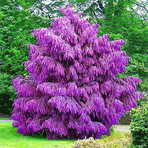 Zhouba Fichten-Samen für Hof, Gartenpflanze, 100 Stück Fichten-Samen für Garten, Hof, Hof, Zierpflanze, Bonsai-Dekor