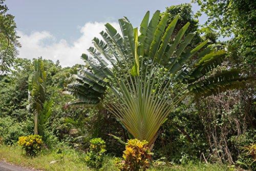 Baum des Reisenden Ravenala madagascariensis 10 Samen