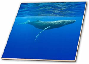3dRose ct_89841_2 Hawaii, Big Island, Humpback Whale-Us12 Pso0028-Paul Souders-Ceramic Tile, 6-Inch