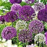 25x Blumenzwiebeln Garten Zierlauch Allium Mix lila