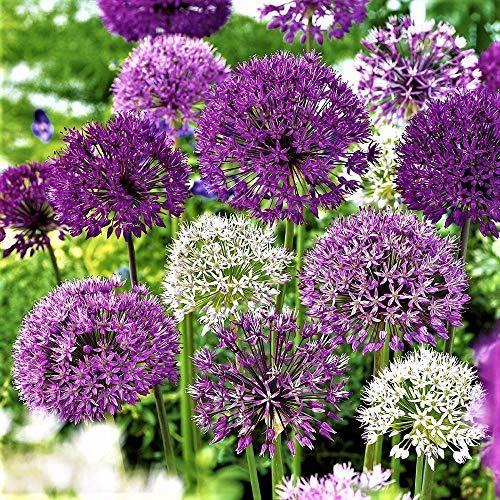 25x Blumenzwiebeln Garten Zierlauch Allium Mix lila/weiß