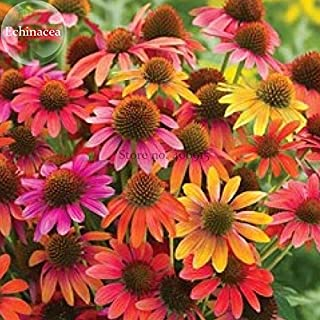Best coneflower plants for sale Reviews