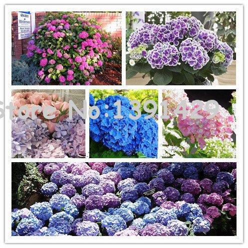 Promozione! vendita 50pcs misto semi di fiori di ortensia giardino della pianta dei bonsai Viburnum macrocephalum Fort