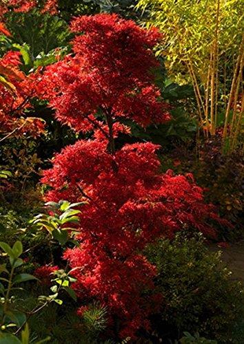 Ahorn Palmatum Shainia - roter asiatischer Fächerahorn - verschiedene Größen (50-60cm - Topf Ø 19 cm - 3 Ltr.)