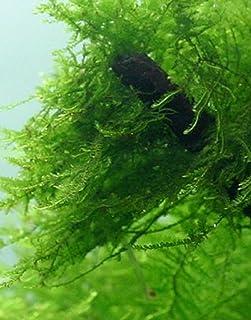 Aquarium Plants Galore Live Java Moss