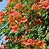 Bignonia - Campsis Mme Galen (trumpet vine) - Vaso 1,5 litro (Pianta rampicante - Pianta adulta - Resistenza al freddo: Ottima)   ClematisOnline #2