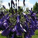 Schmucklilie, Agapanthus africanus blau