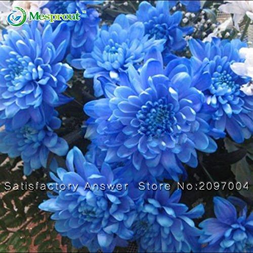 Nouvelles Graines 30 Graines PCS Bleu Dahlia Belle Seeds Gardens Dahlia pinnata Bonsai plantes à fleurs vivaces
