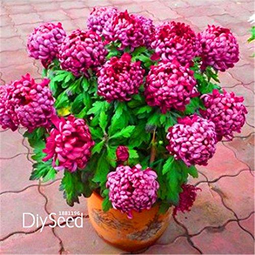 Hot Sale! 10 PCS Un lot de graines de chrysanthème, plantes rares graines de fleurs de jardin en pot, softcover bonsaï chambre avec balcon, # NBZL1J