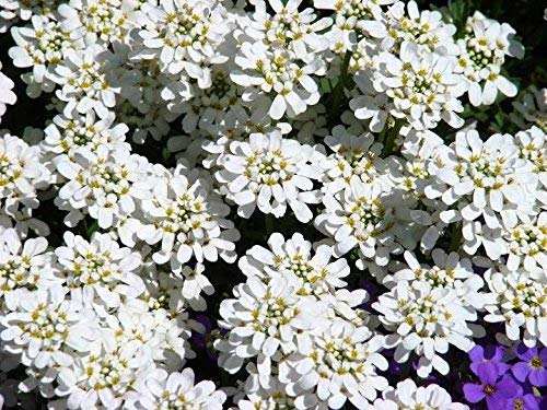 Evergreen Schleifenblume, winterharte Schleifenblume Samen - Iberis sempervirens