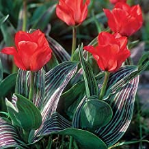 SILKSART Red 10 Tulip Bulbs early bloom Perennial Bulbs for Garden Planting Beautiful Flower--SHIPPING NOW!!!