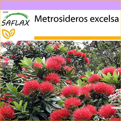SAFLAX - Neuseeländischer Weihnachtsbaum - 300 Samen - Metrosideros excelsa