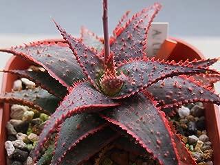 Heirloom 10 Seeds Aloe Christmas Carol @ Red Color Hybrid Succulent Rare Agave Cacti Seed