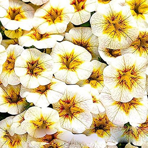 100 Pièces Dichondra Seeds Repens gazon jardin décoratif Plantes Graines de fleurs argent herbe graines suspendues 1 Professional Paquet