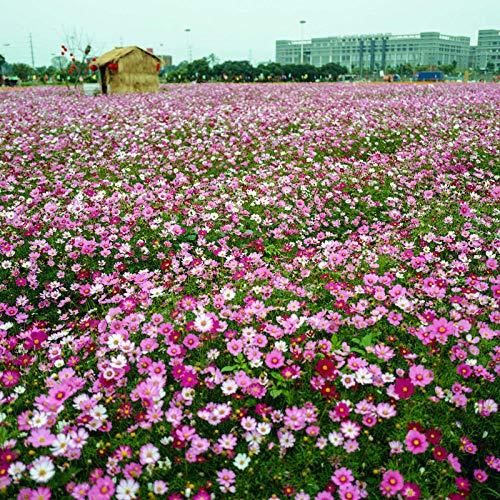 Aerlan Flores Paisaje para cercas,Milenrama balcón Enredadera Enredadera Flor Planta Flor especies-500_Cosmos,Maceta para Plantas de jardín/Interiores