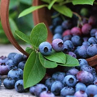 200pcs Blueberry Seeds Perennial Bonsai Mini Fruit Plant Seeds Blueberry Tree Seeds Potted Plant for Home Garden