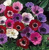 発芽SEEDS:デ・カーンアネモネWindflowers - 25個の球根7/8センチ - 非常にハーディ!