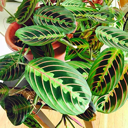 """Product Image 2: Red Maranta Prayer Plant – Live Plant in a 4 Inch Pot – Maranta Leuconeura """"Erythroneura"""" – Beautiful Easy to Grow Air Purifying Indoor Plant"""