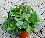 Coleus Canin'Verpiss-Dich®'-Pflanze,3 Pflanzen Katzenschreck, Katzen-Stopp