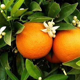 Dwarf Blood Moro Orange Tree Citrus 1 Tree Grow Your Own Oranges M4
