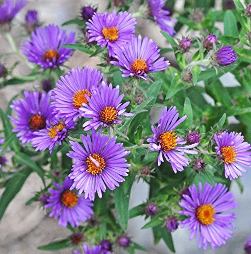 新英格兰紫菀(1000花种子)新英格兰紫菀,多年生,