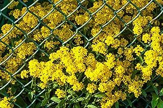 Basket of gold; goldentuft alyssum, golden alyssum, golden alison, gold-dust, golden-tuft alyssum, golden-tuft madwort, rock madwort - seeds