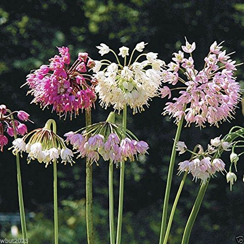 Allium cernuum (Nodding Onion) flower Seeds-500 Seeds
