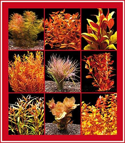 Zoomeister - 5 Bund Rote Wasser-Pflanzen Für'S Aquarium