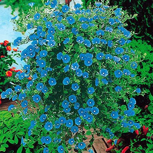 Keland Garten - Raritäten Blaue Mauritius Blühfreudig in Azurblau Blumensamen Mischung winterhart mehrjährig, ideal für Blumenkasten und Hängeampel