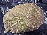 2 semillas en germinación Semillas jaca -Tropical USA
