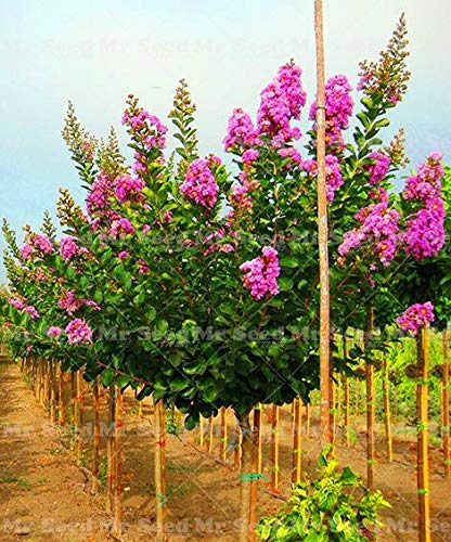 Acheter rhodomyrtus tomentosa Tree Seeds Plante rhodomyrtus tomentosa pour Tao