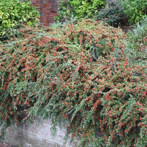 1 X COTONEASTER 'HORIZONTALIS' DECIDUOUS Shrub Hardy Garden Plant in Pot