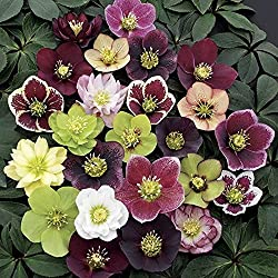 Blooming Hellebore with mixed flower colors of white, yellow, cream, red, burgundy, pink, and double colored.