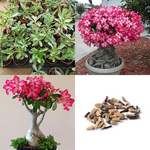 Ncient 20pcs/Sac Graines Semences de Fleur Rosier -Roses-du-Desert- Rose Fleurs Parfumée Seed Plante en Pot Décoration d'Intérieu Jardin