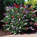 Buddleja davidii Tricolor |Cespuglio di farfalla |Resistente allinverno |Altezza 25-30 cm |vaso-Ø 19 cm