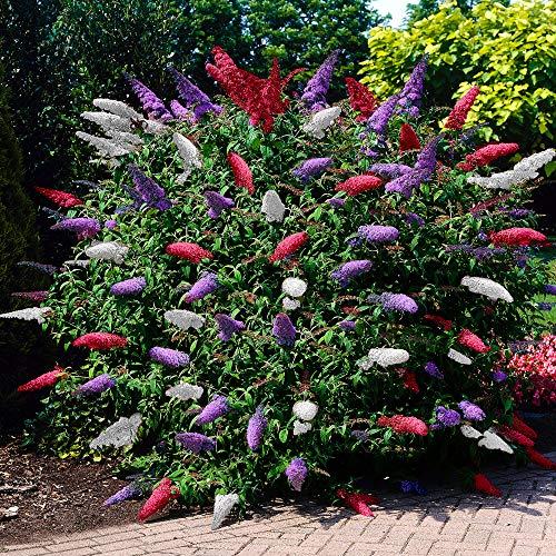 Buddleja Davidii | Sommerflieder tricolor | Schmetterlingsflieder winterhart | Rot - Weiß - Blau | Höhe 25-30 cm | Topf-Ø 9,5 cm
