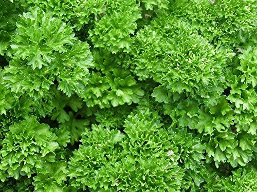 3000 Triple frisées Persil Petroselinum Hortensis Herb légumes Semences Comb S/H