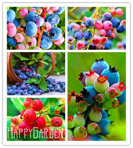 Promoción grande! 100 PC / bolso colorido de la semilla del árbol del rosa Arándano Blueberry de semillas Semillas de tiesto Bonsái, # 0K0F31