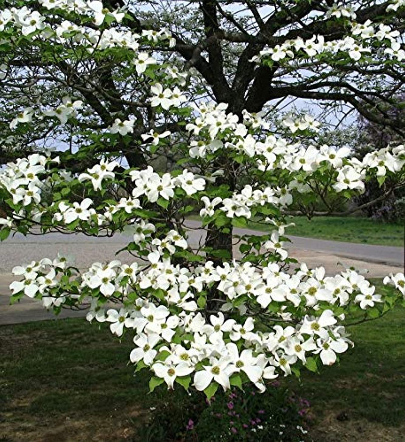 (1 Gallon) White Dogwood Tree, Beautiful White Blossoms in May, in Fall, Leaves Turn to Shades of Burgundy, Purple and deep Crimson Followed by Ruby red Berries.