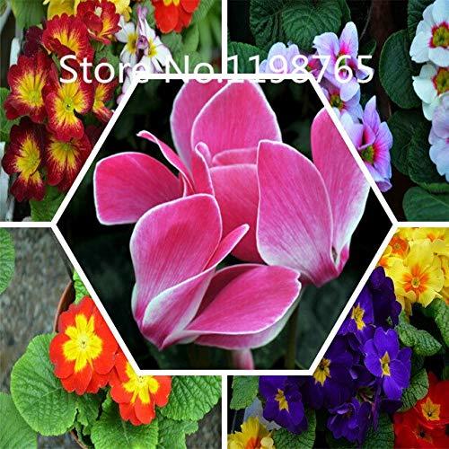Rouge: Promotion à prix spécial! 300 Primrose Seeds 10 Kinds Emballés Mixtes, Graines De Fleurs Germination Élevée De Jardin De Bricolage Blooming P