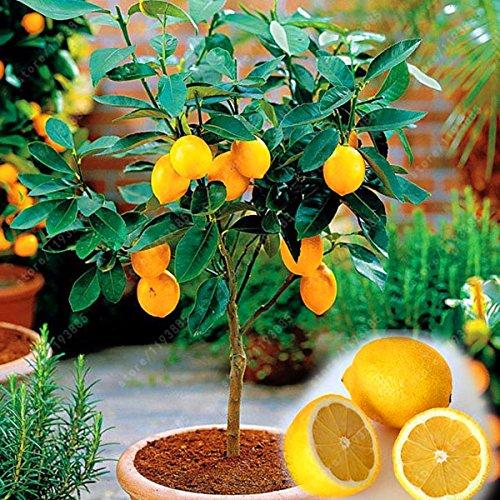 Inovey 20 Pcs/Pack Comestible Jaune Citron Graine Citrus Bonsaï Maison Jardin Frais Citron Fruits Arbre Graines