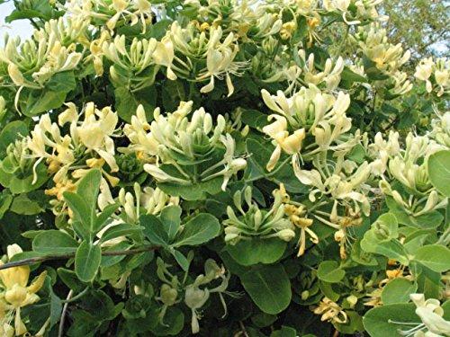 Madreselva Caprifolium (Lonicera): (para jardin, balcón y patio ...