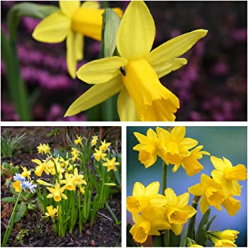 Low Maintenance and Easy to Grow Spring Garden Plant 100 x Daffodil Tete-a-Tete Bulbs by Thompson /& Morgan Mini Daffodil Bulbs Hardy Spring Bulbs Narcissus with Bright Yellow Flowers