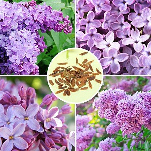 30pcs viola Fragrante lilla arbusto semi Syringa vulgaris fiori di semi
