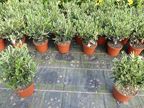 Olive Bonsai Mini Olivenbaum,Olea Europaea 30-40 cm hoch, winterhart