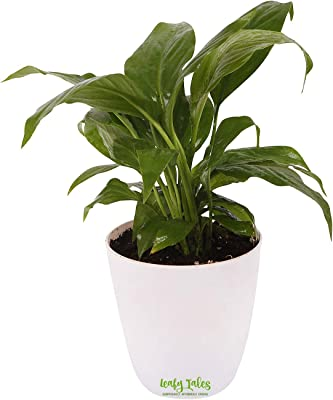 Leafy Tales Peace Lily Natural Live Plant in White Plastic Pot (Spathiphyllum) | Decorative Indoor Plant