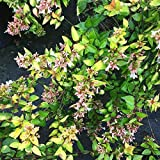(1 Gallon) Abelia 'Canyon Creek', Compact Evergreen with Very Showy Leaves,Compact and Dense Shrub, Very Attractive Shiny Foliage, Copper Tinge Yellow Foliage, which Slowly Turns Yellow